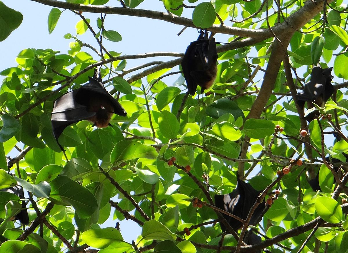 El cortejo de los murciélagos es un acto muy complejo y varía según la especie