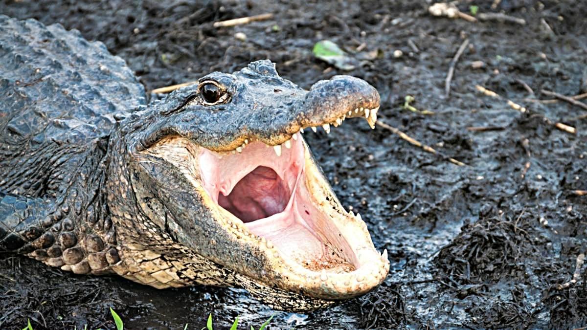 diferencias entre los cocodrilos y los caimanes principales