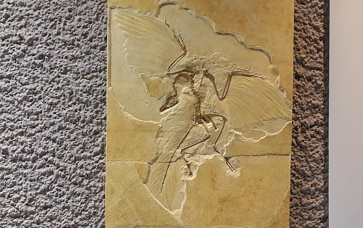 Se han podido deducir las plumas en los dinosaurios gracias a improntas fósiles