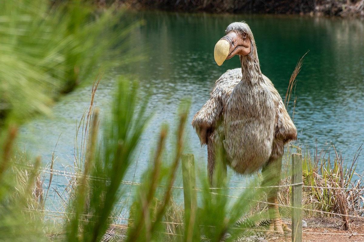 La imagen popular del dodo es que es un ave torpe y estúpida