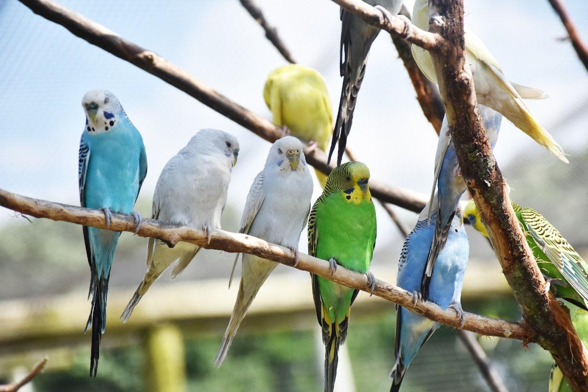 Especies de loros: Psittacoidea