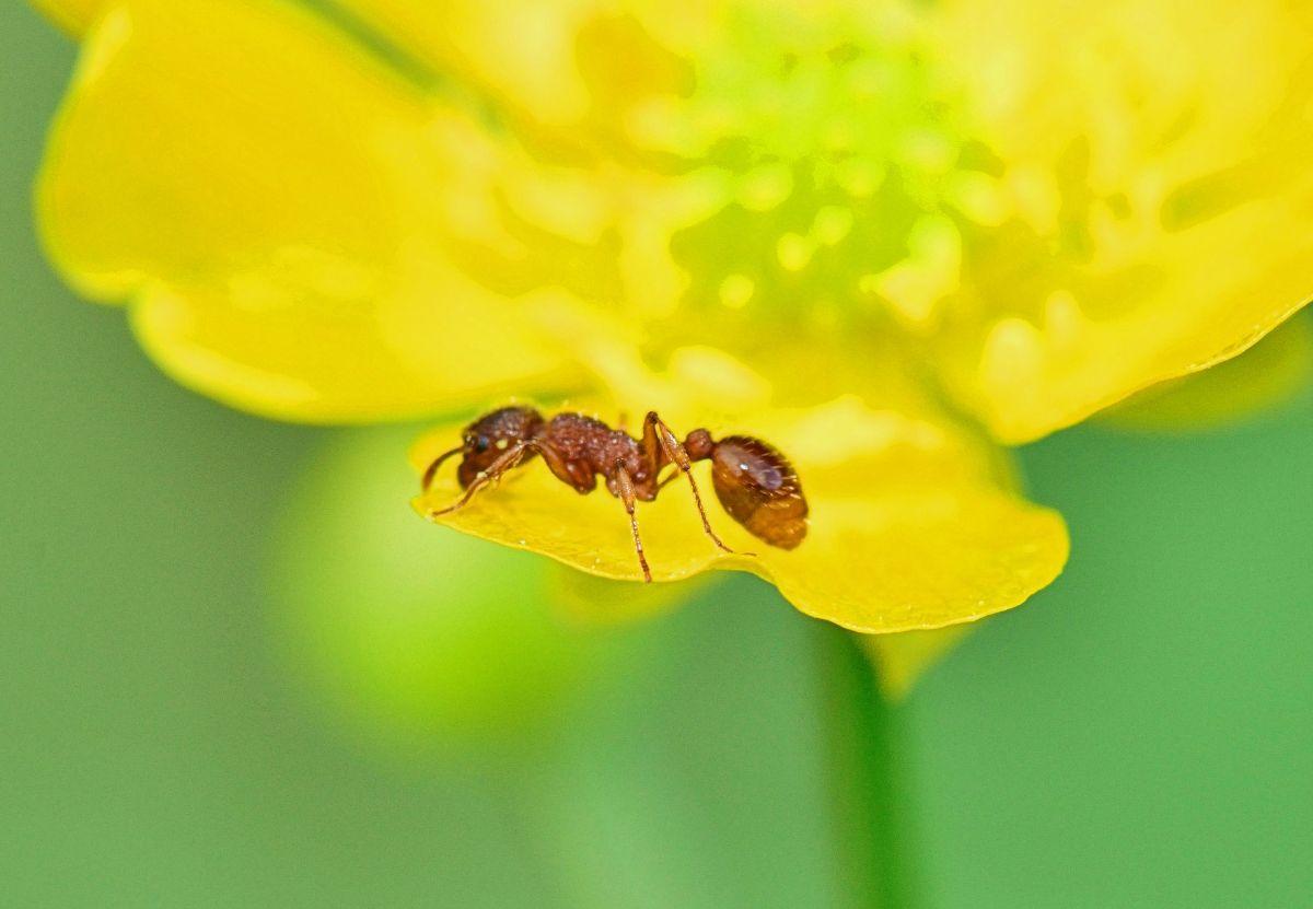 La alimentación de la hormiga con alas