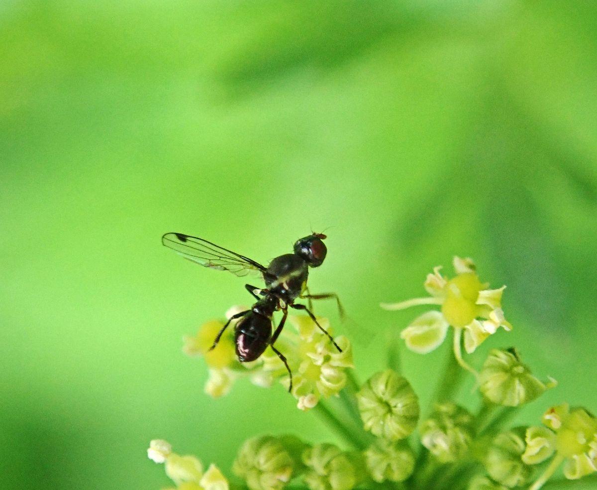 De dónde sale la hormiga con alas
