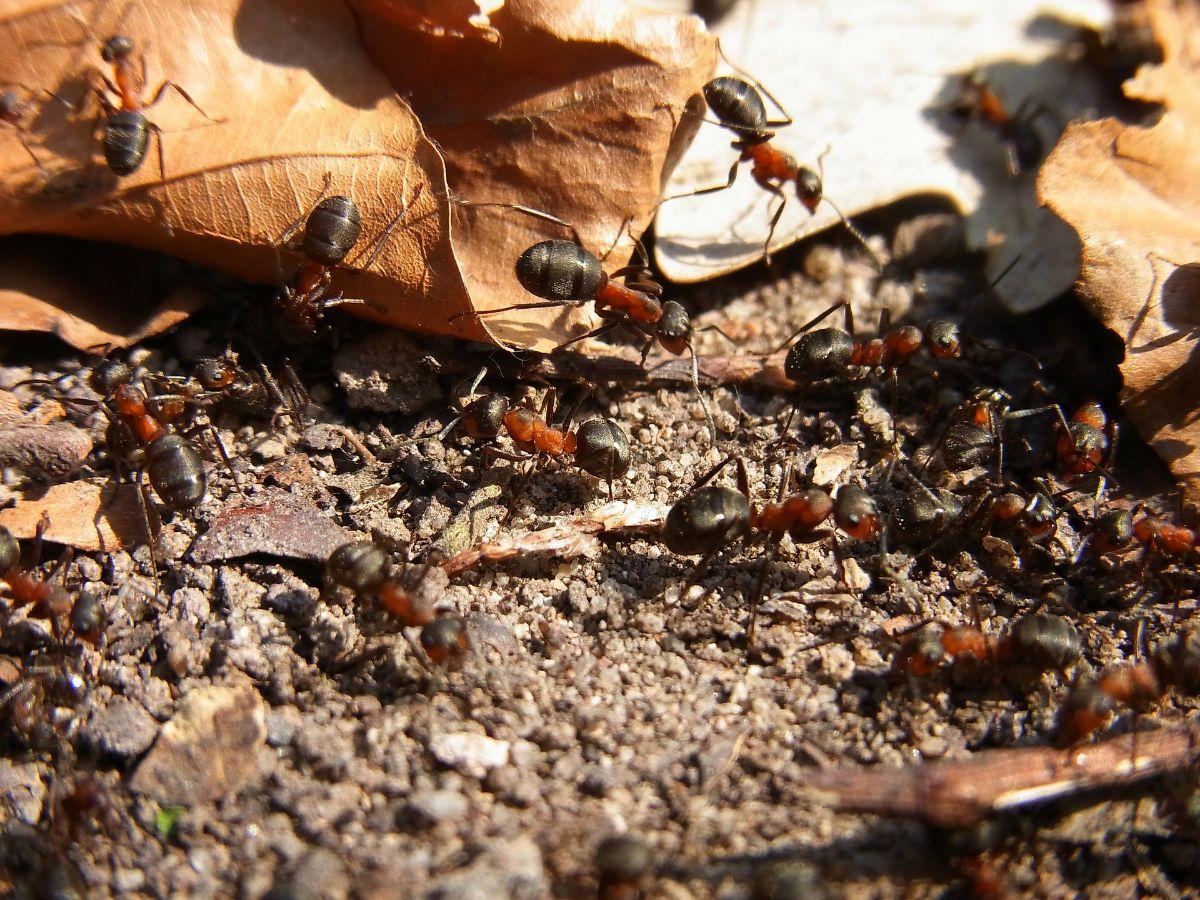 La reproducción de la hormiga roja