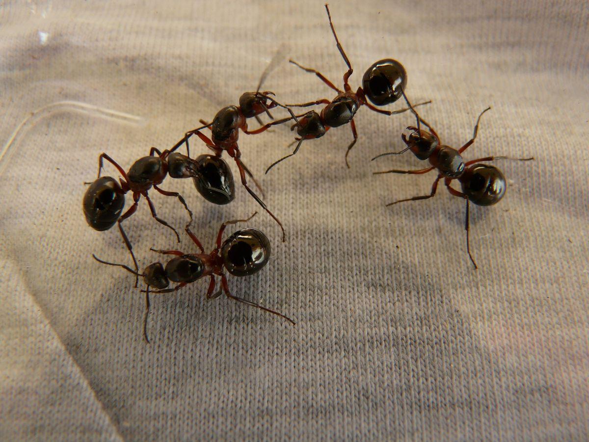 Qué es la hormiga roja
