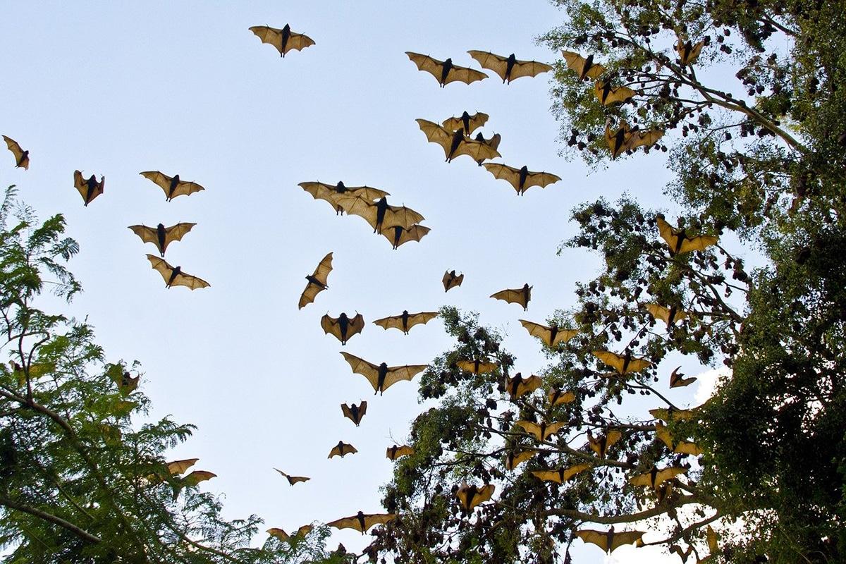 El murciélago de la fruta juega un papel muy importante en la dispersión de las semillas