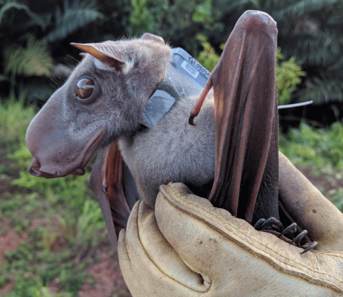 el murciélago cabeza de martillo se encuentra al borde de la extinción
