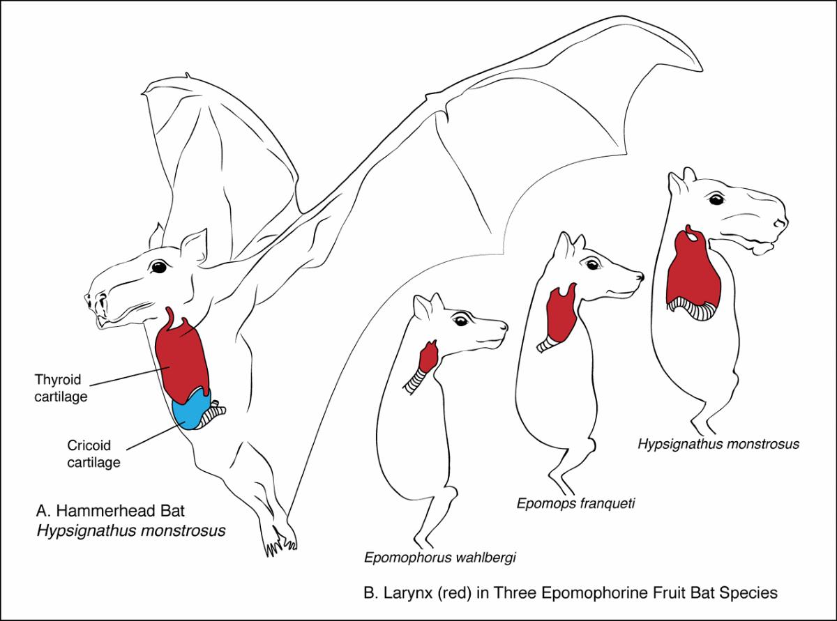 el murciélago cabeza de martillo vive en la mitad central de África