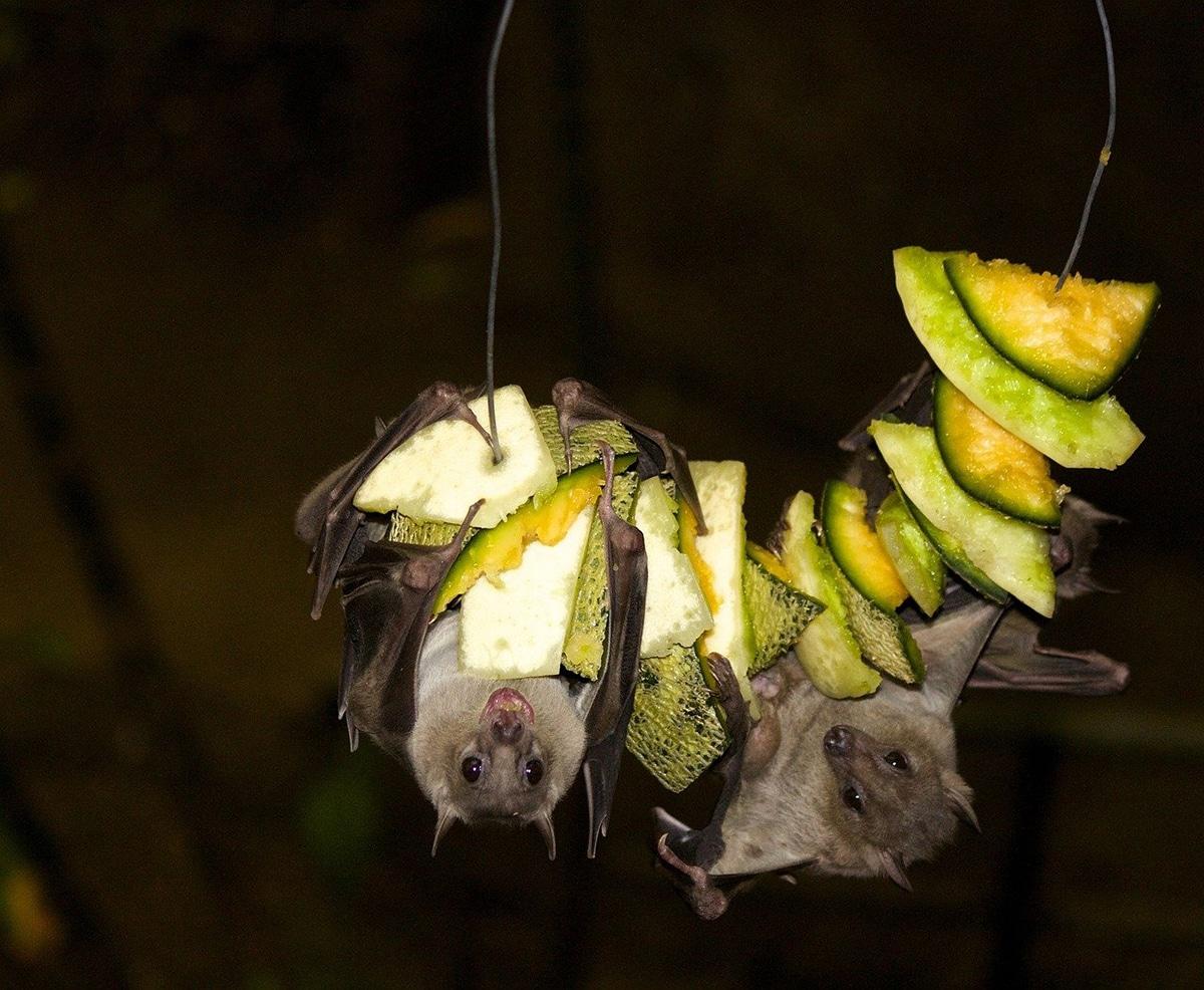 El murciélago de la fruta se alimenta de frutas y de néctar