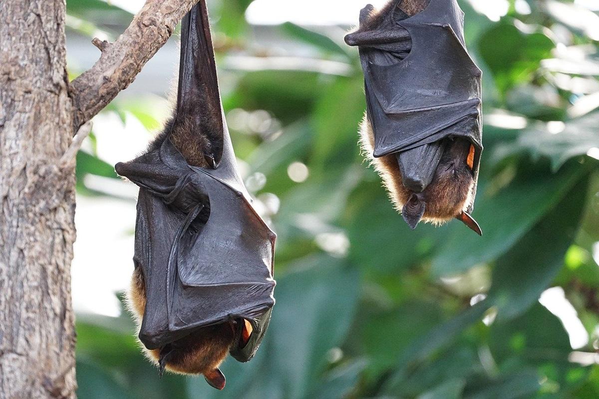 El murciélago de la fruta puede alcanzar edades muy elevadas para su tamaño