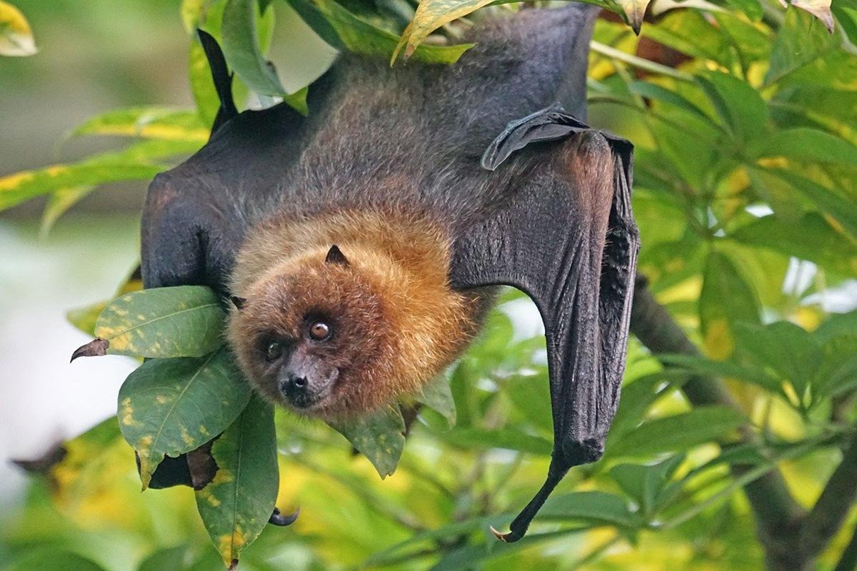 El murciélago de la fruta carece de ecolocalización
