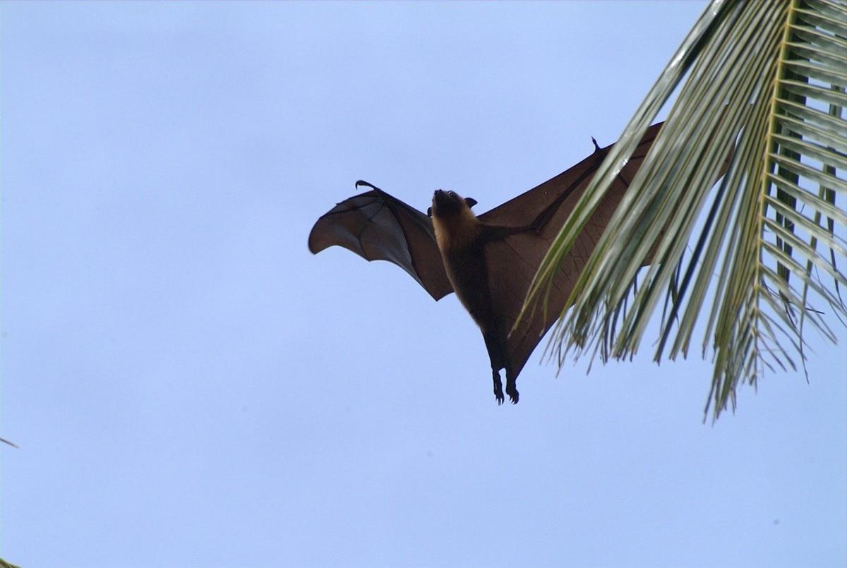 El murciélago de la fruta es muy social