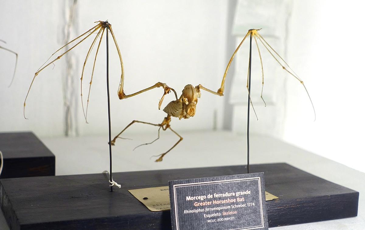 Las poblaciones del murciélago de la herradura se reducen cada año