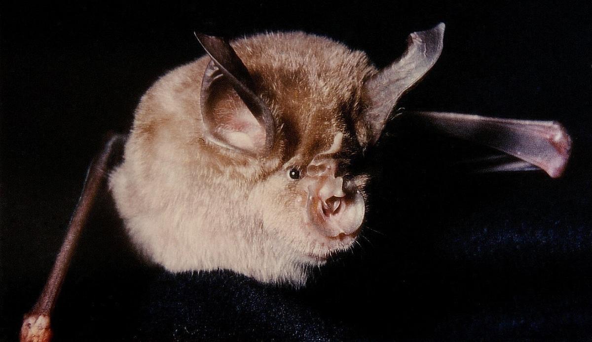 El murciélago de la herradura tiene un hocico con forma de herradura