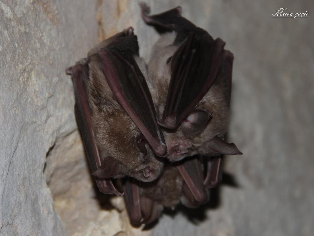 El murciélago de la herradura también es conocido como Rhinolophus ferrumequinum