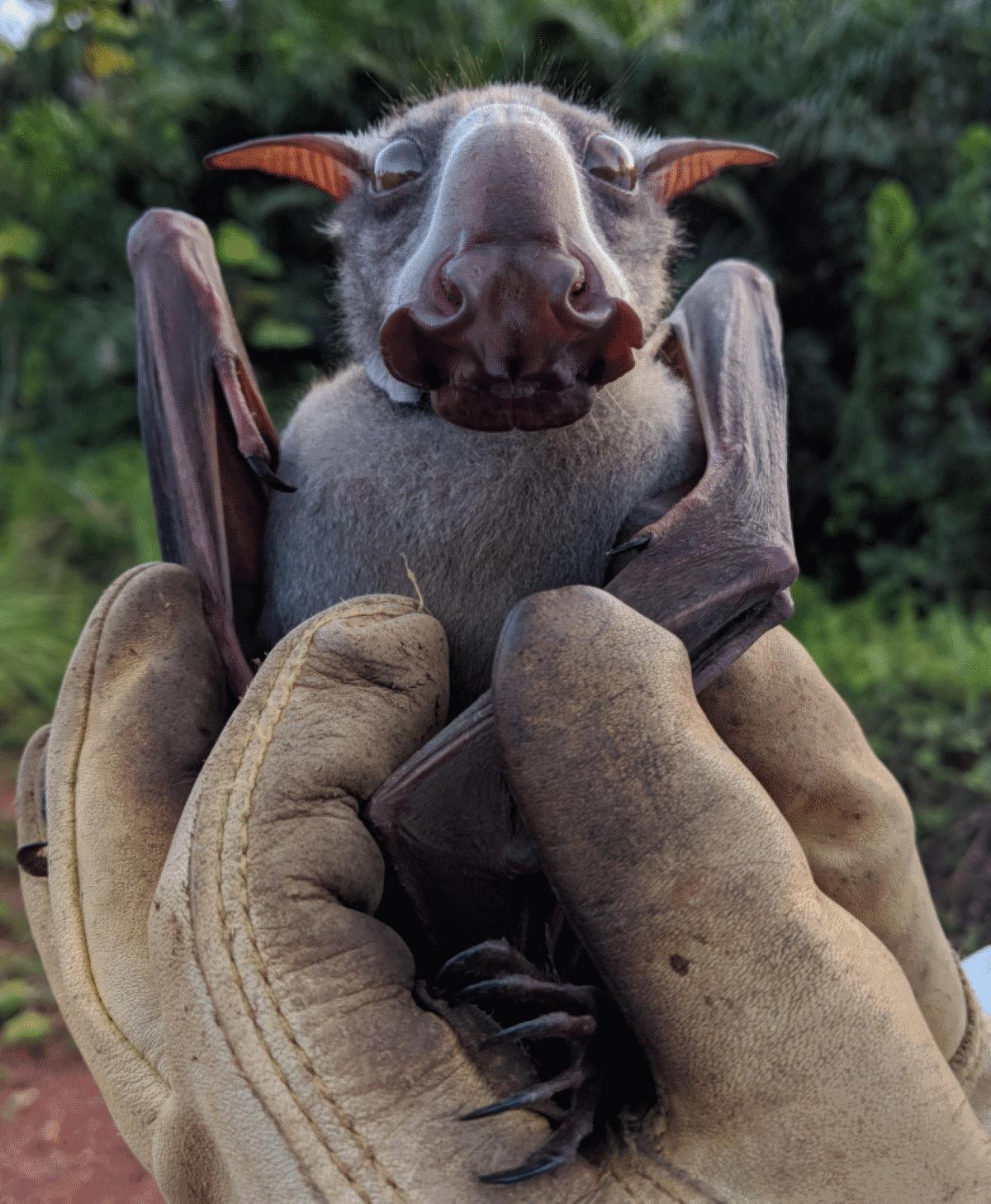 El murciélago cabeza de martillo se alimenta principalmente de frutas e higos