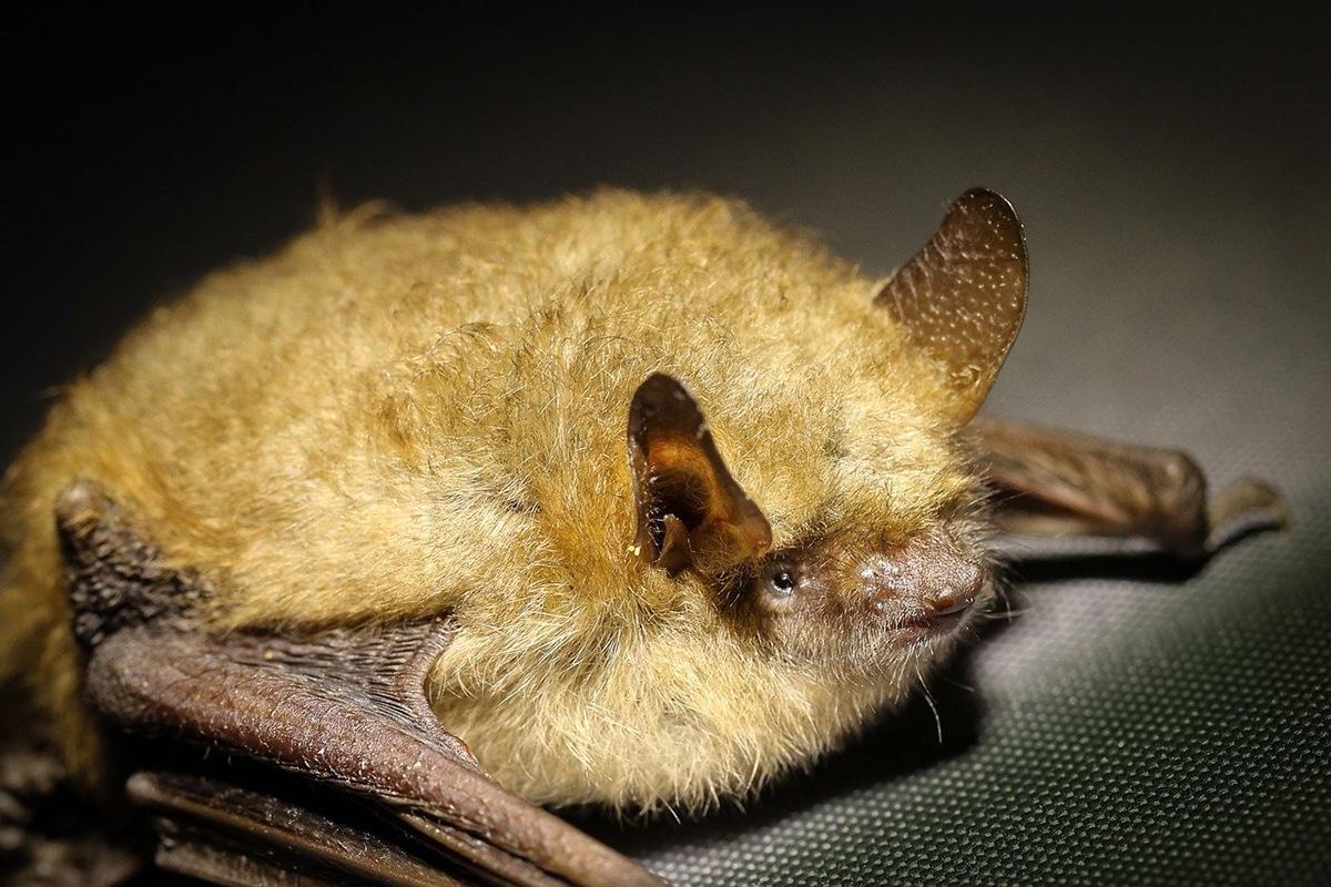 Los murciélagos utilizan la ecolocalización para orientarse