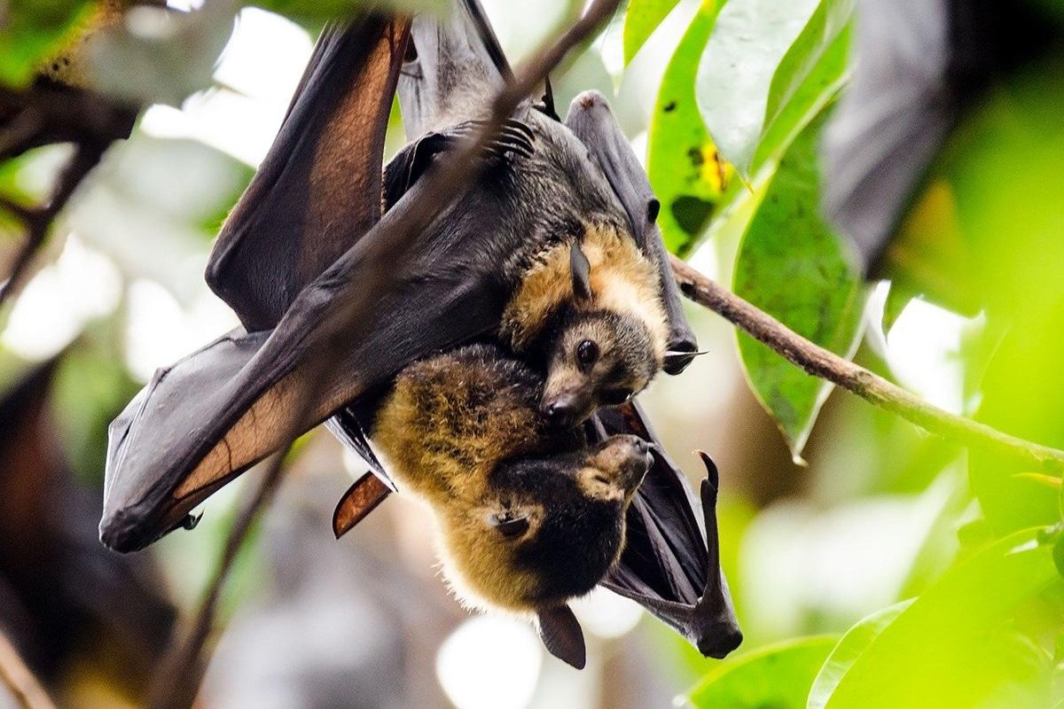 Los murciélagos son vivíparos y suelen tener una cría