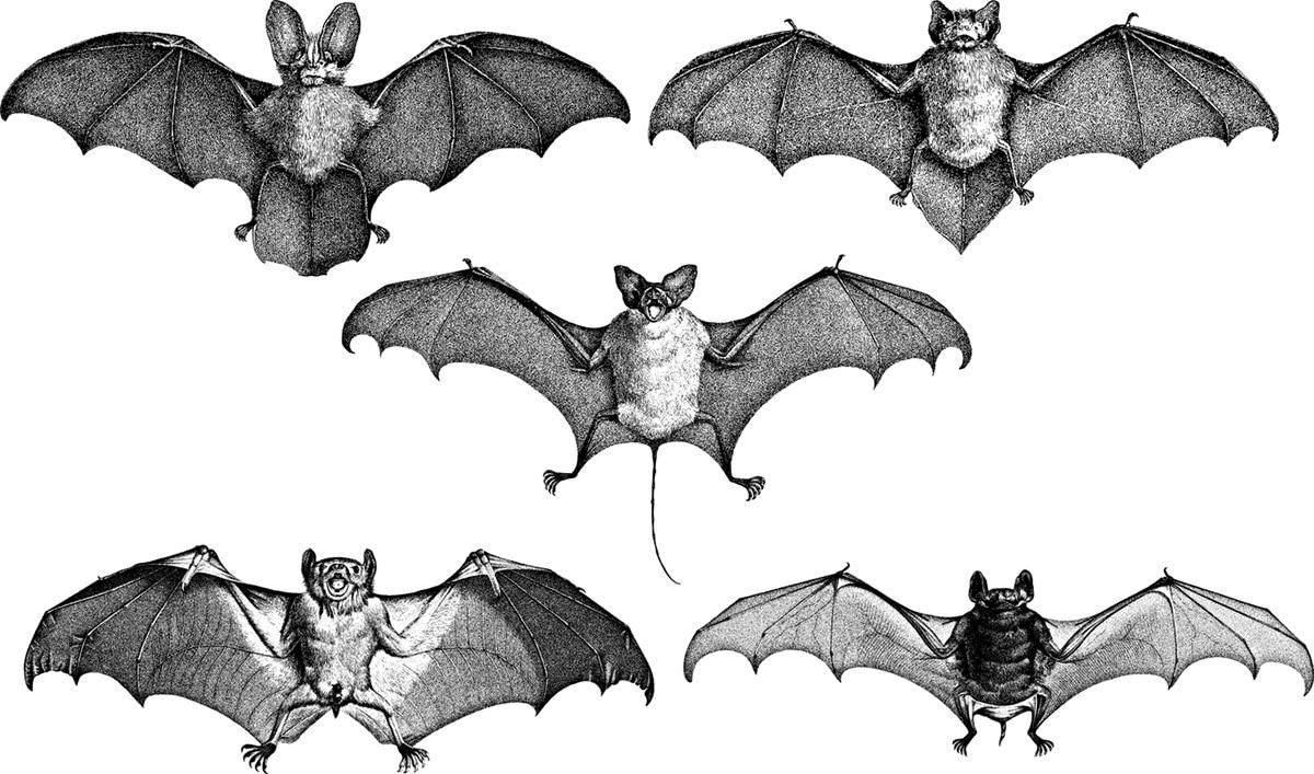 Existen 1100 especies de murciélagos