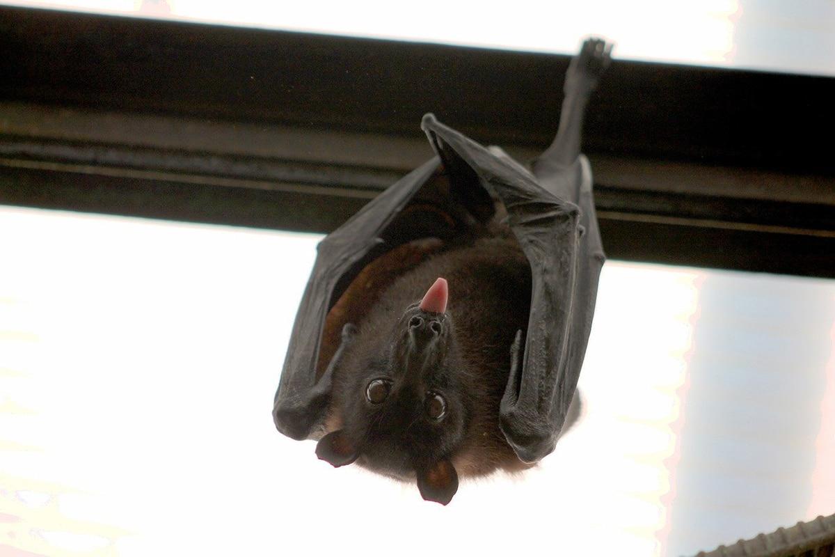 Los murciélagos tienen adaptaciones especiales para emitir y recibir sonidos