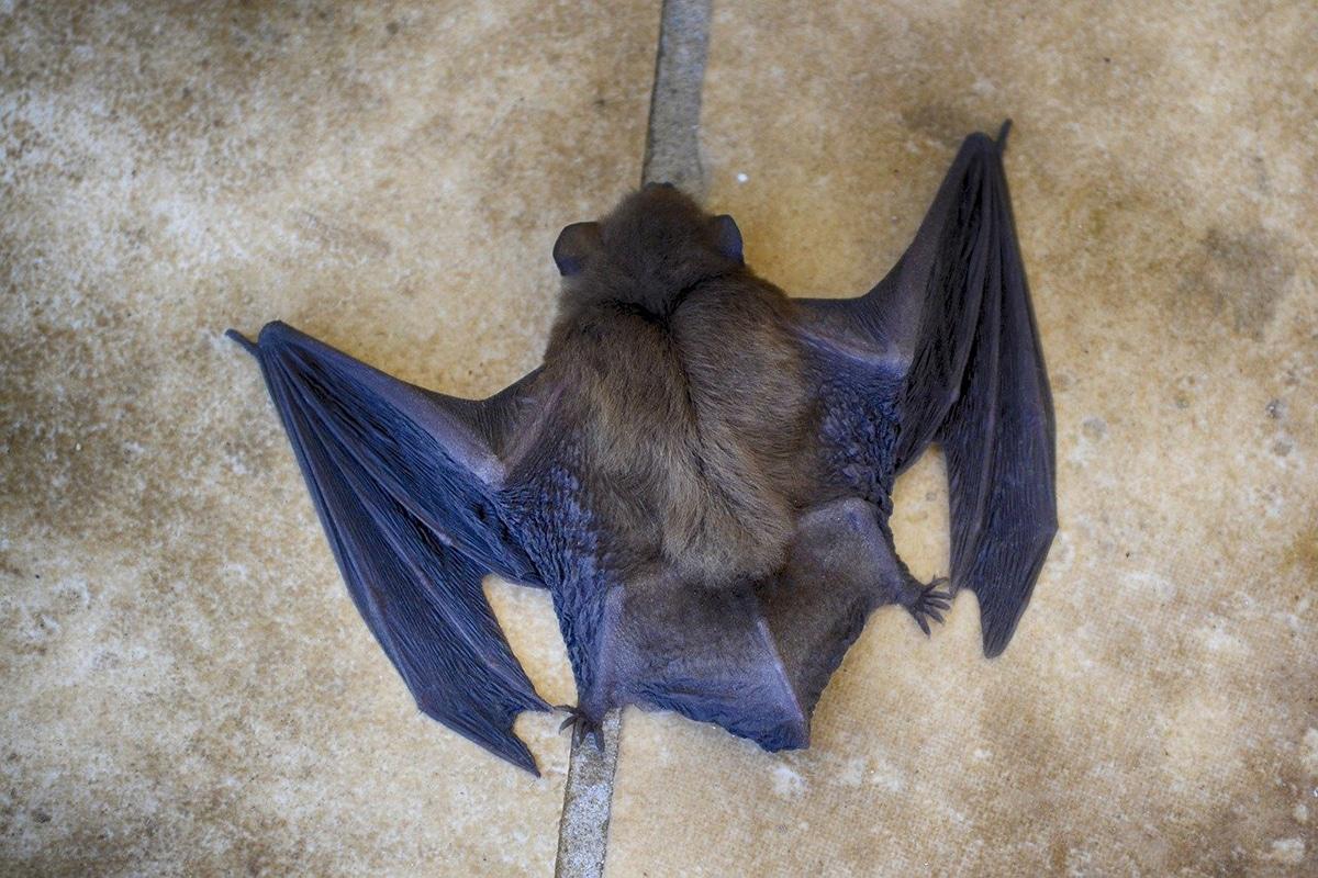 Los murciélagos tienen finas membranas que les ayudan a volar y a cazar