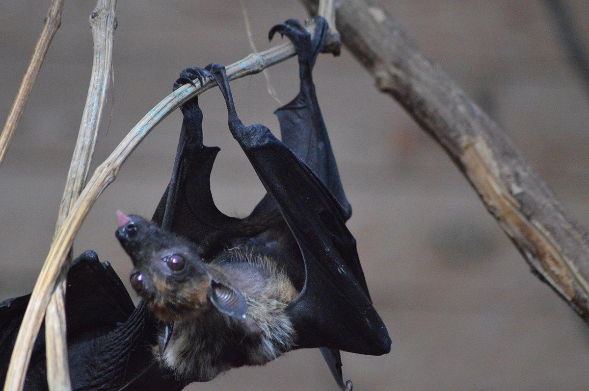 Los murciélagos tienen una dieta muy variada