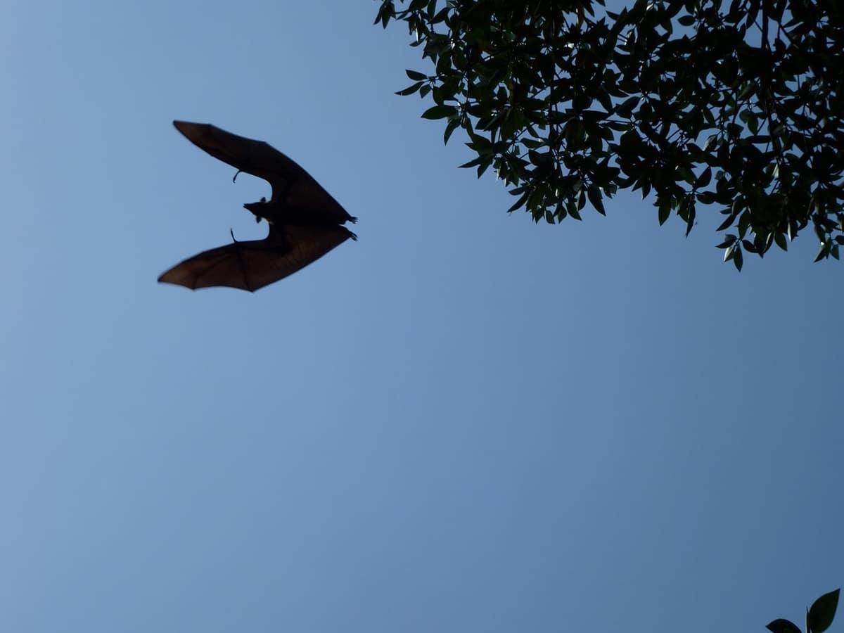 Los murciélagos tienen pocos depredadores naturales