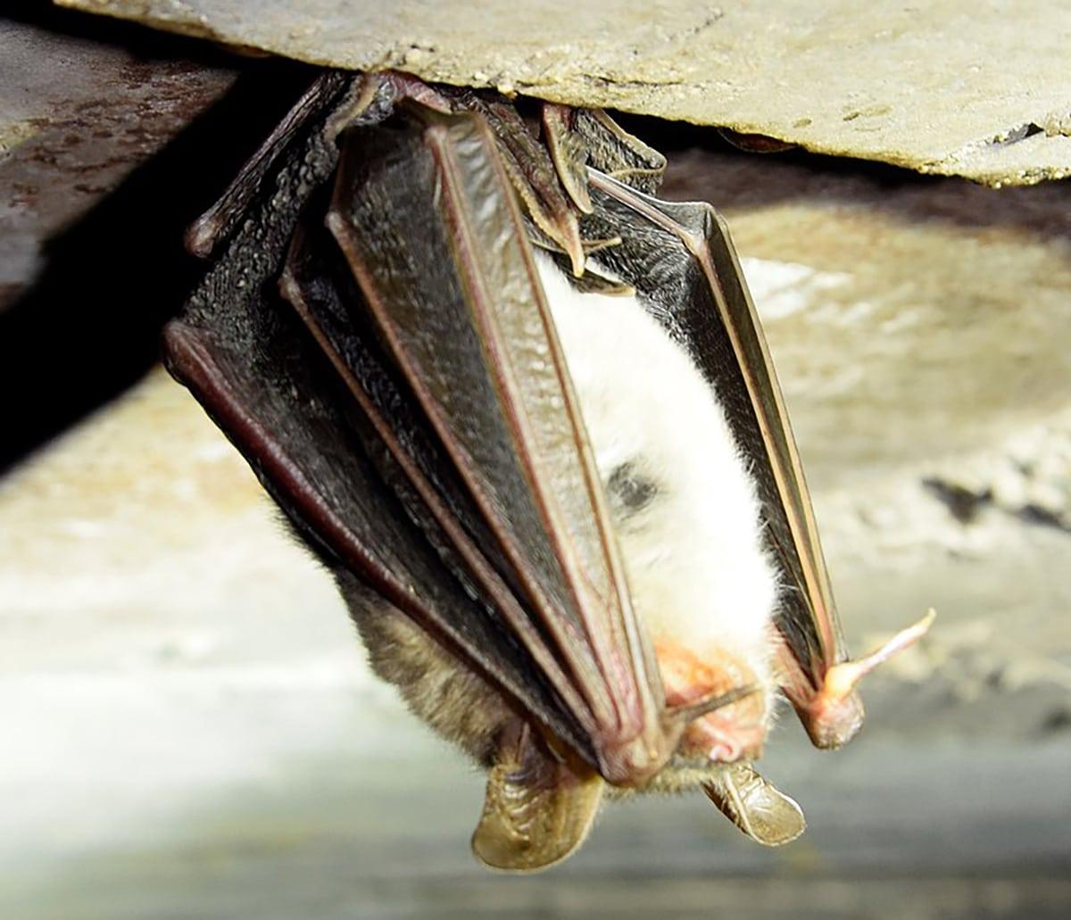 El murciélago ratonero grande habita en sótanos y desvanes