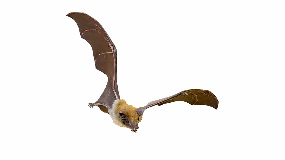 El Myotis myotis también es conocido como murciélago ratonero grande