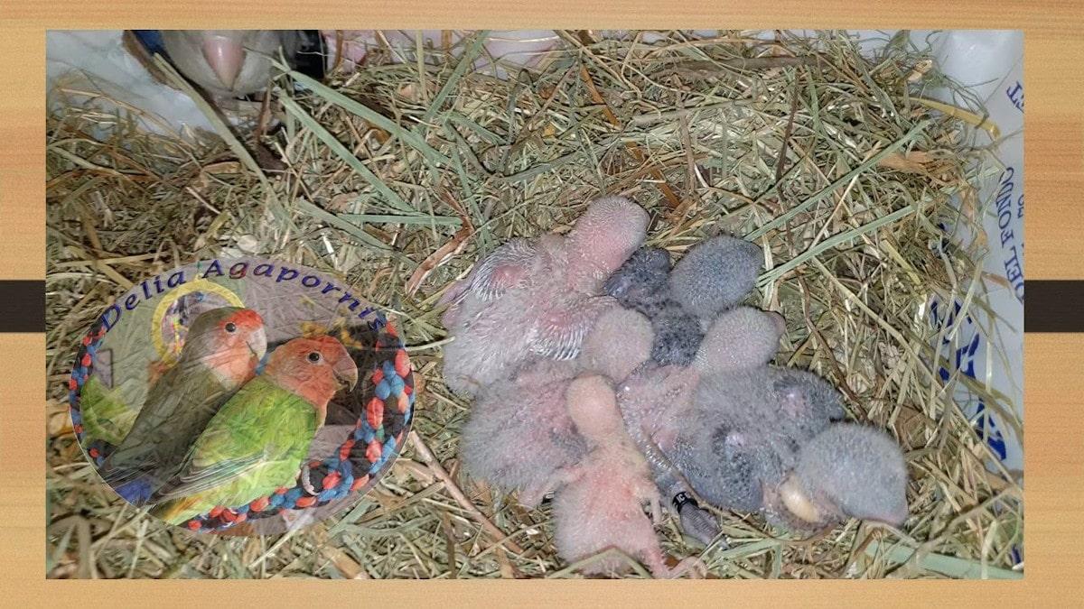La limpieza del nido