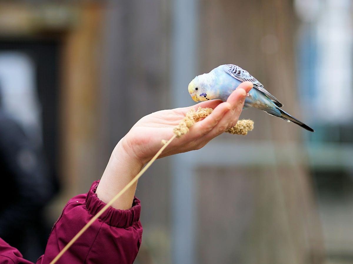 Cómo evoluciona un periquito papillero