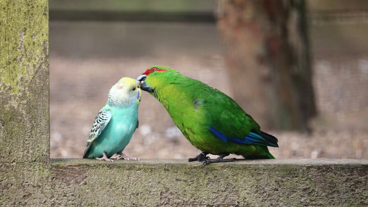 Qué cuidados necesita un periquito papillero