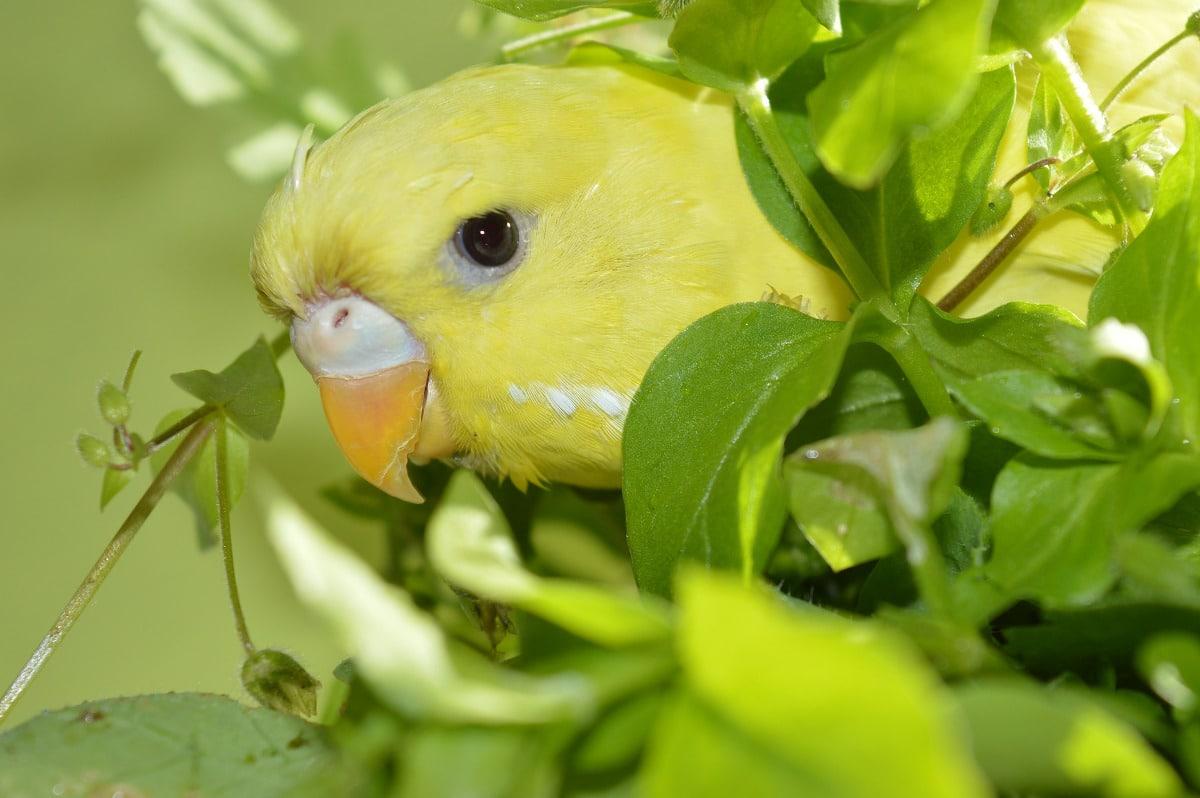 Qué es un periquito papillero