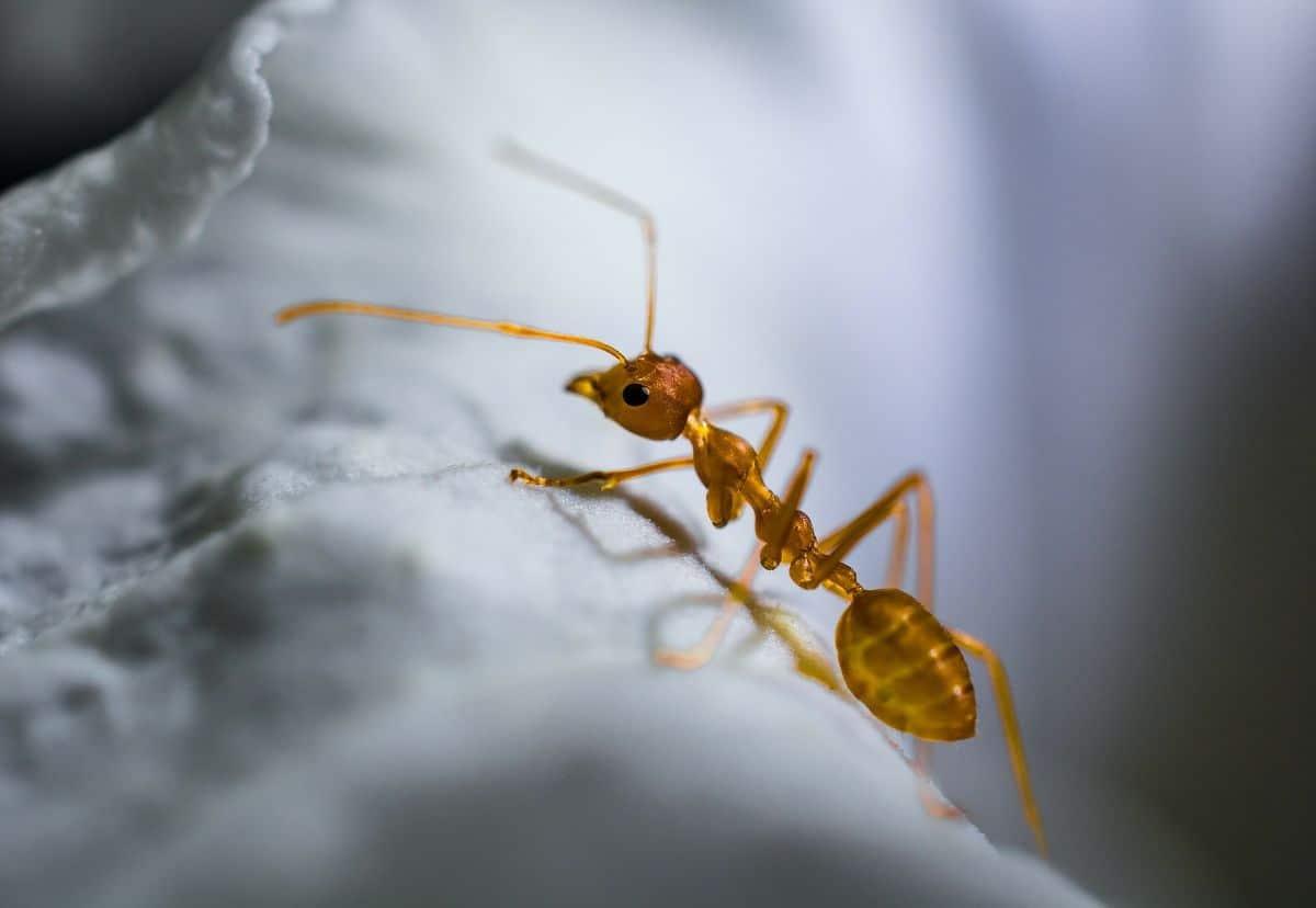 picadura de hormiga