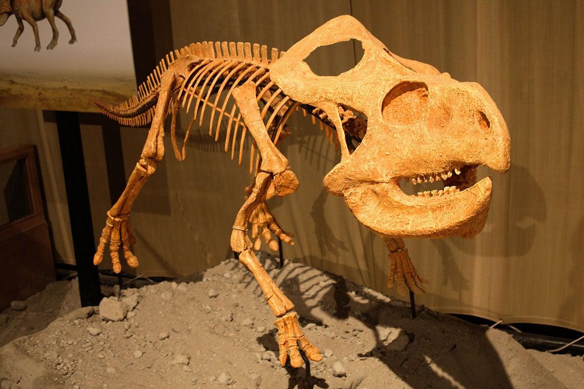 Se han descubiertos muchos Protoceratops en Mongolia