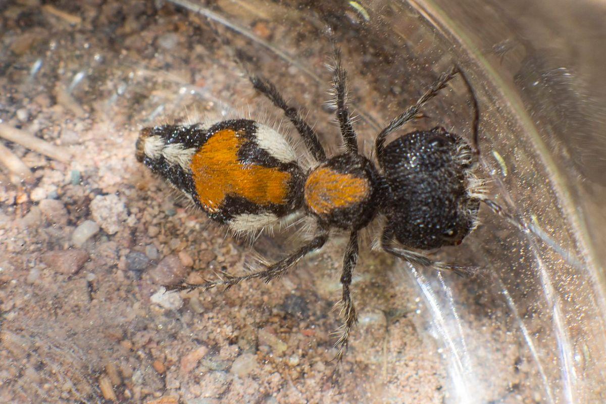 La alimentación de la hormiga de terciopelo