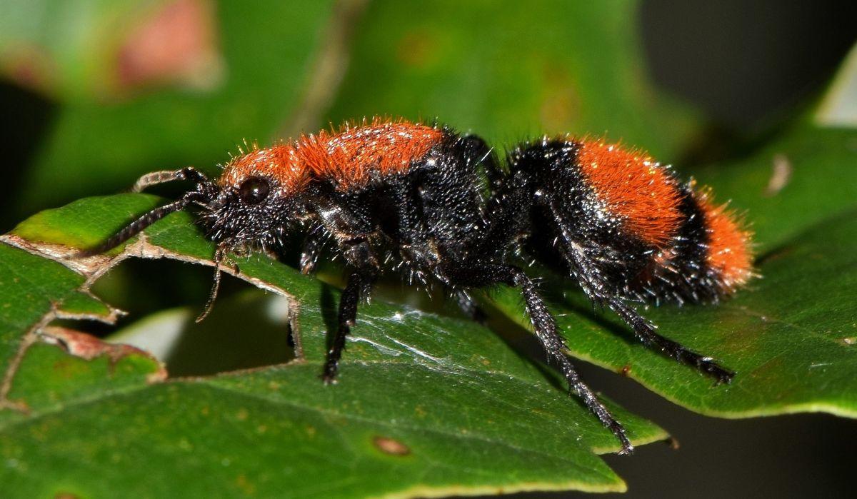 Características de la hormiga de terciopelo