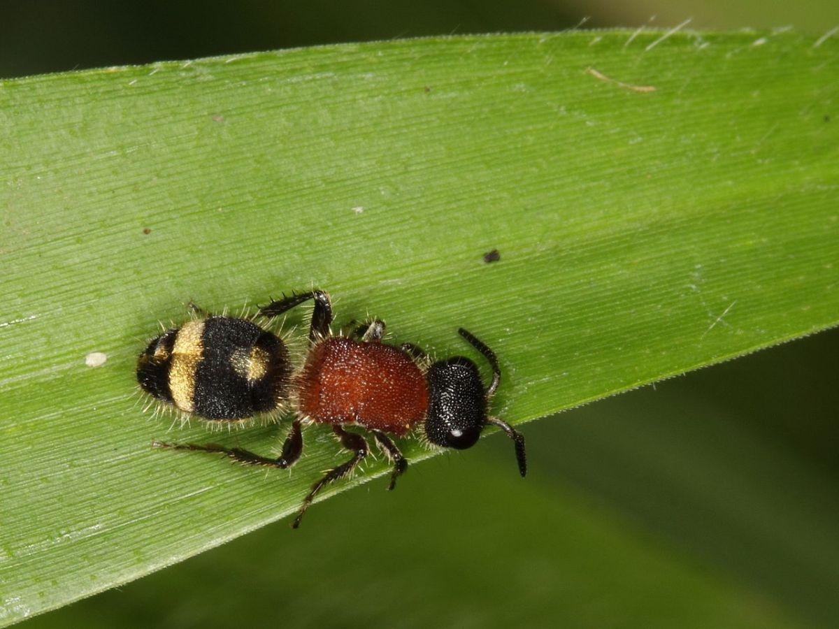 La reproducción de la hormiga de terciopelo