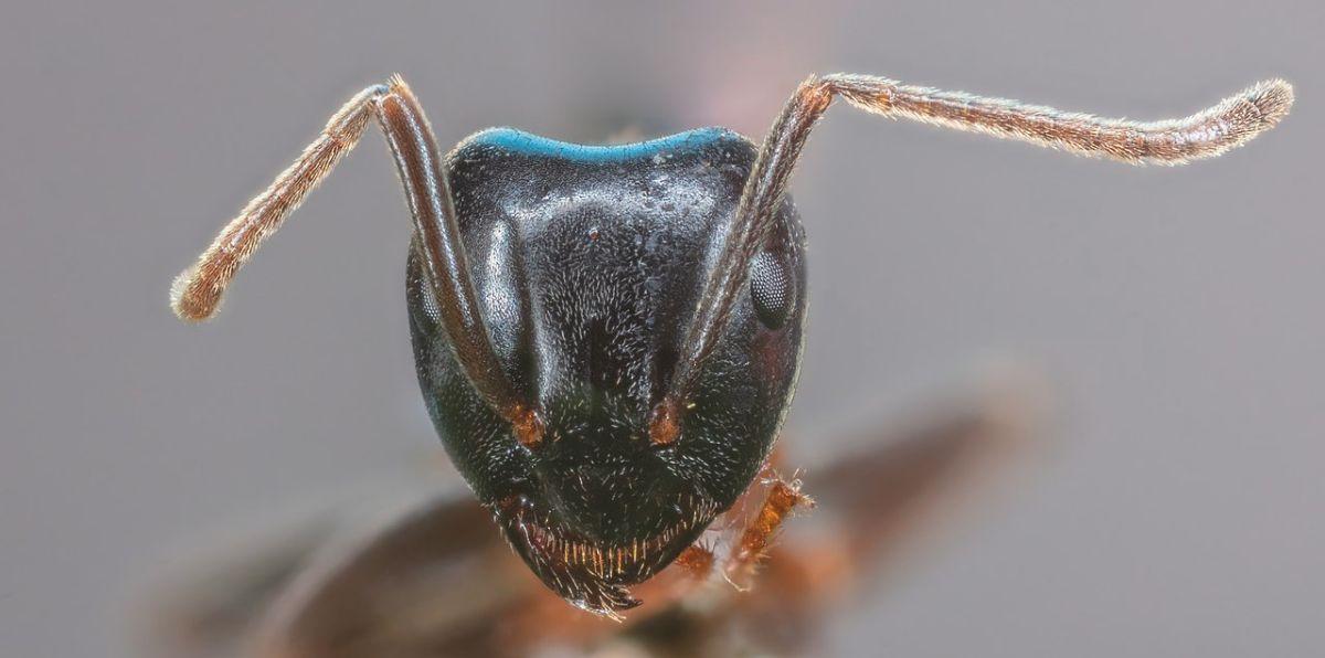 Cómo se comporta la hormiga faraón