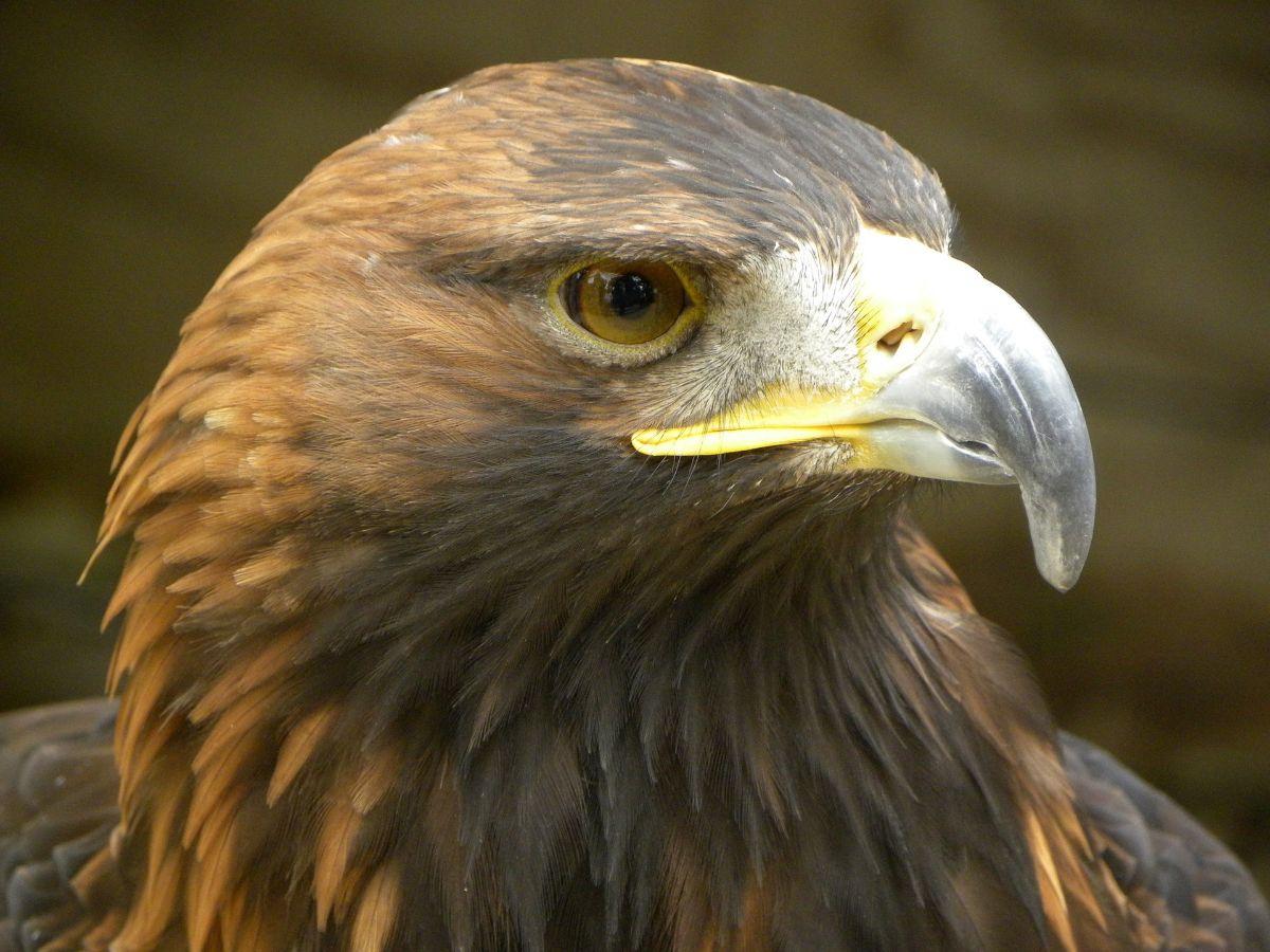 Características del águila real