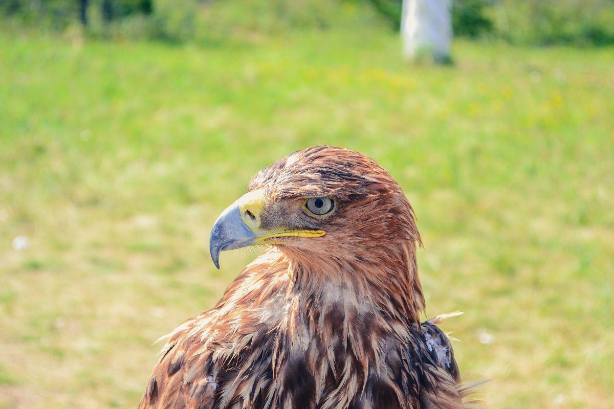 Tipos de águila real