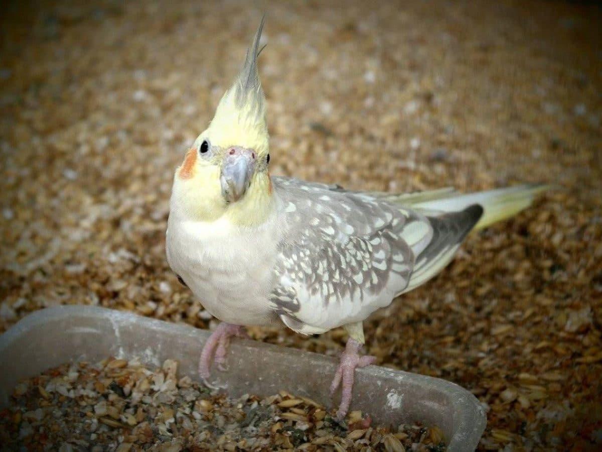 aves como mascota