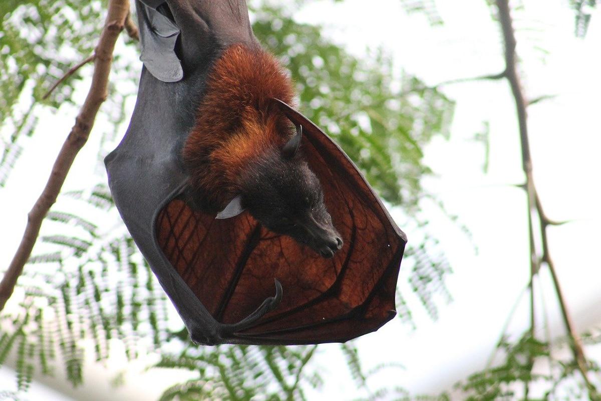La caca de murciélago es un fertilizante excelente