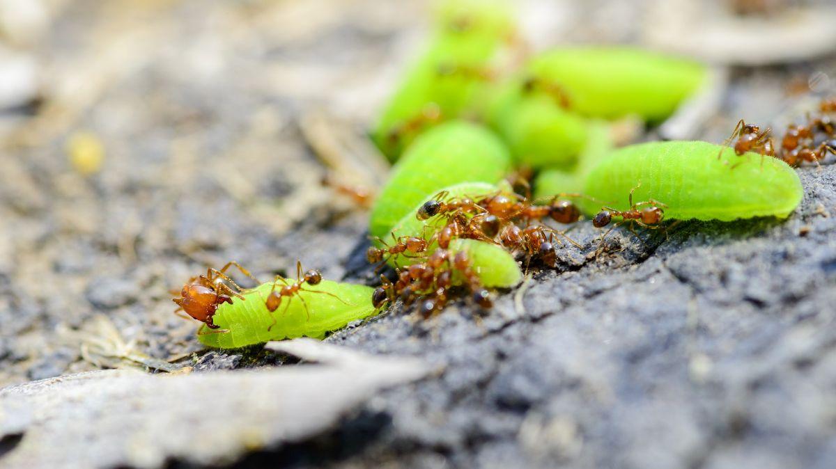 Hábitat hormiga de fuego