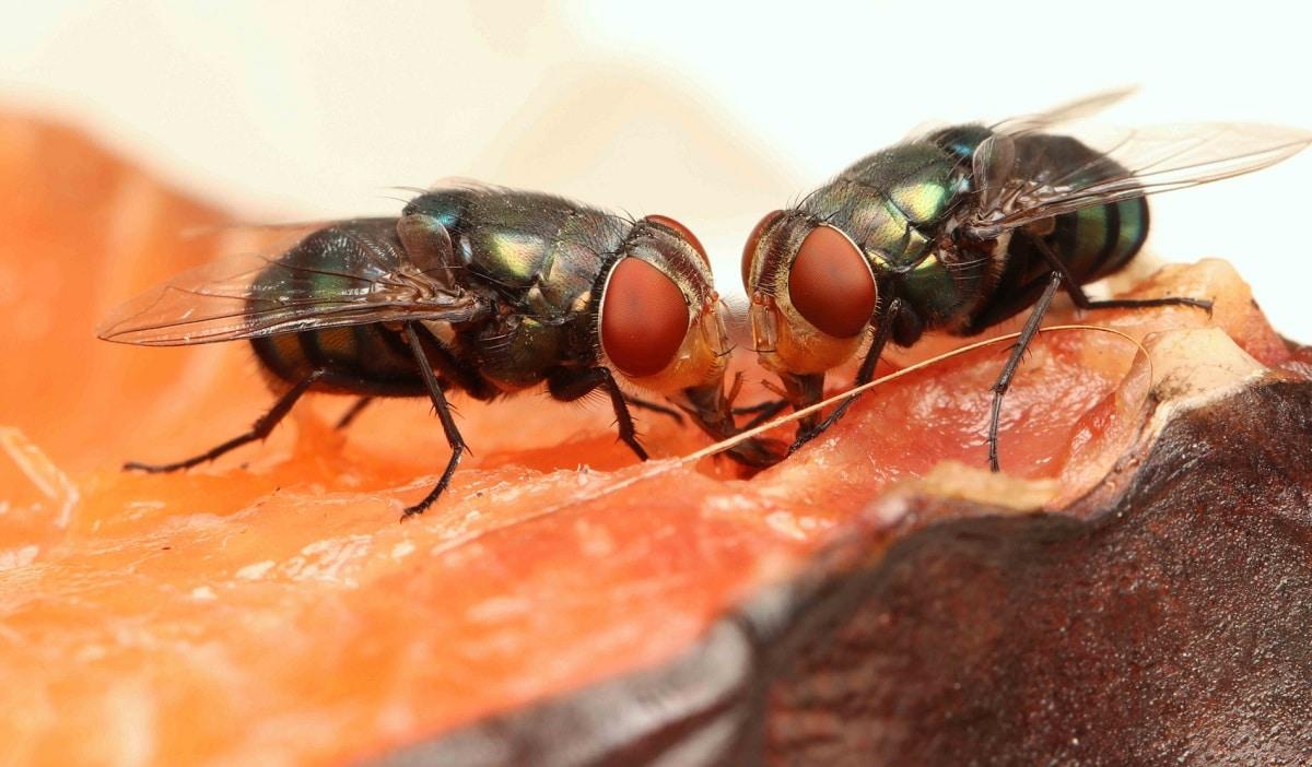 insectos voladores moscas