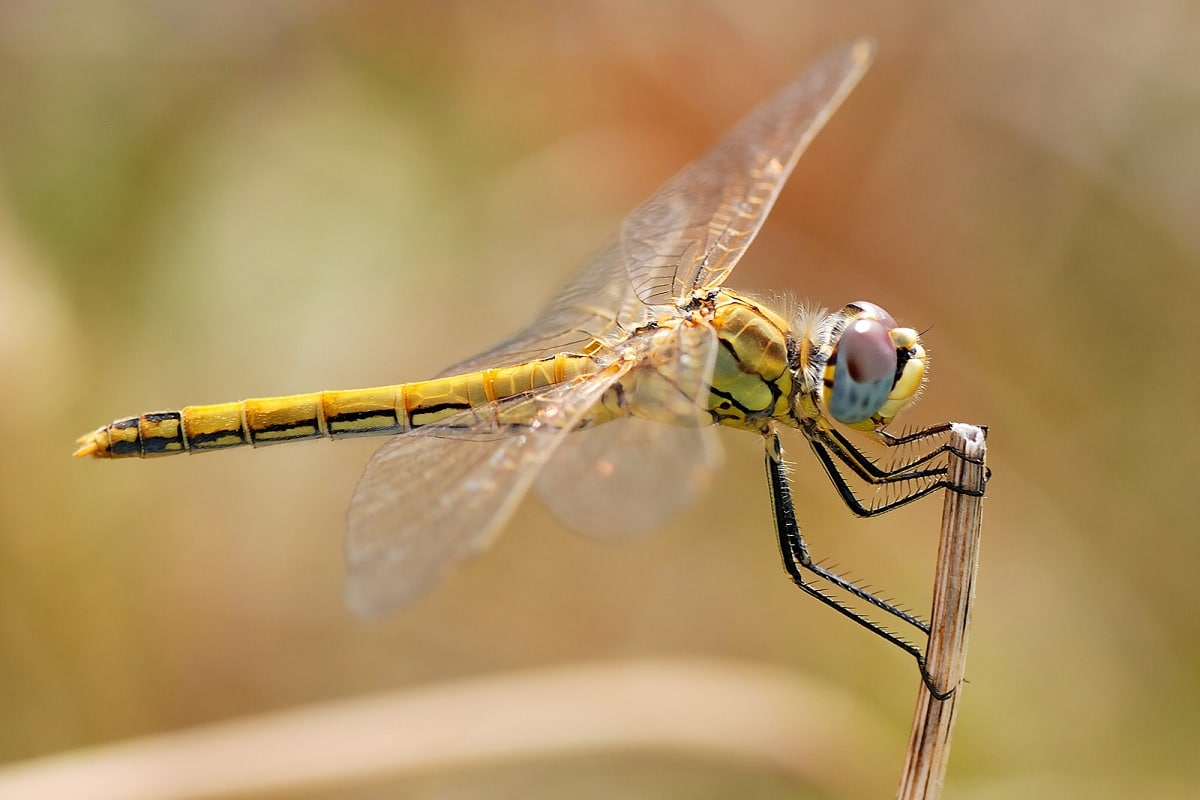 insectos voladores odonatos
