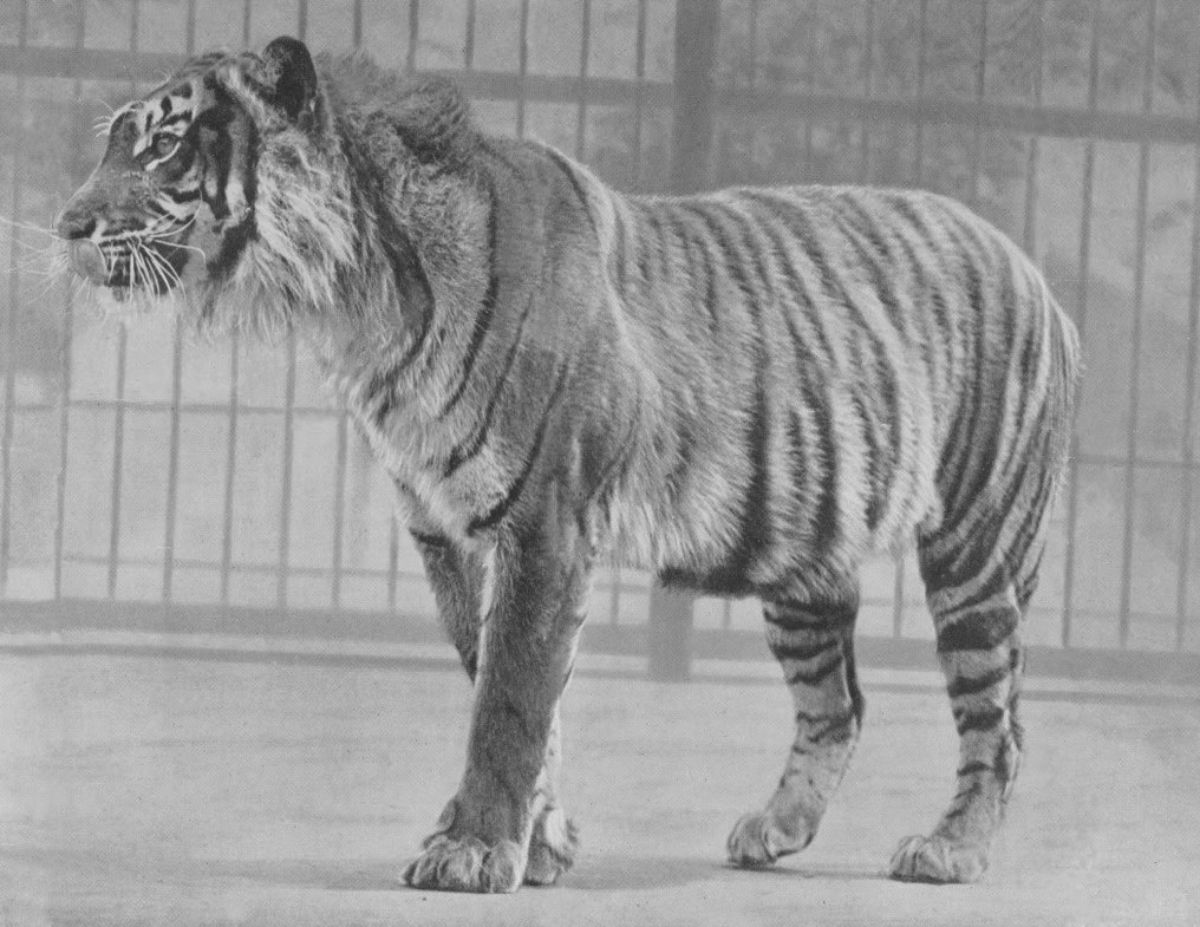La alimentación del tigre de Java