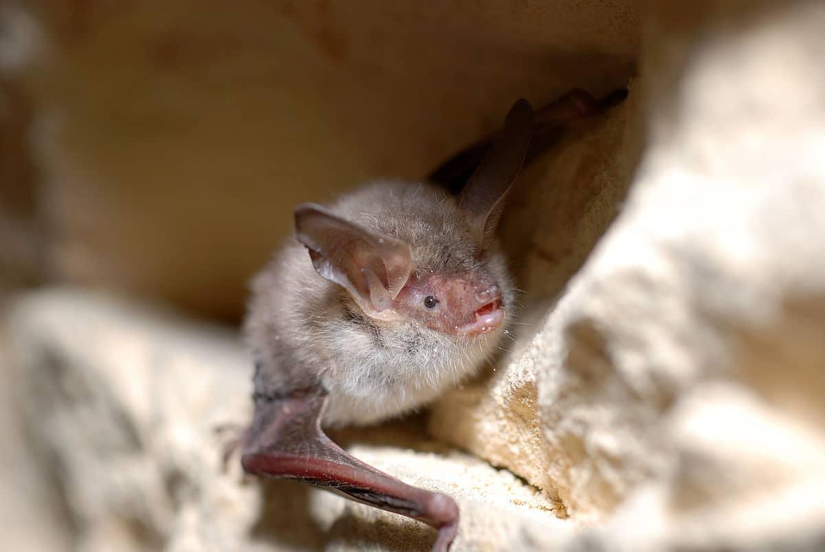 El Myotis bechsteinii es comúnmente conocido como murciélago ratonero forestal