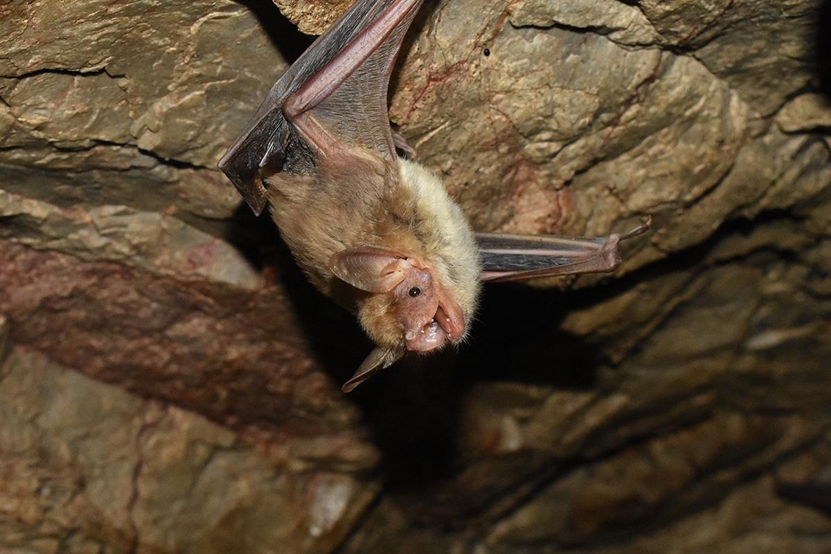 El Myptis blythii también es conocido como murciélago ratonero mediano