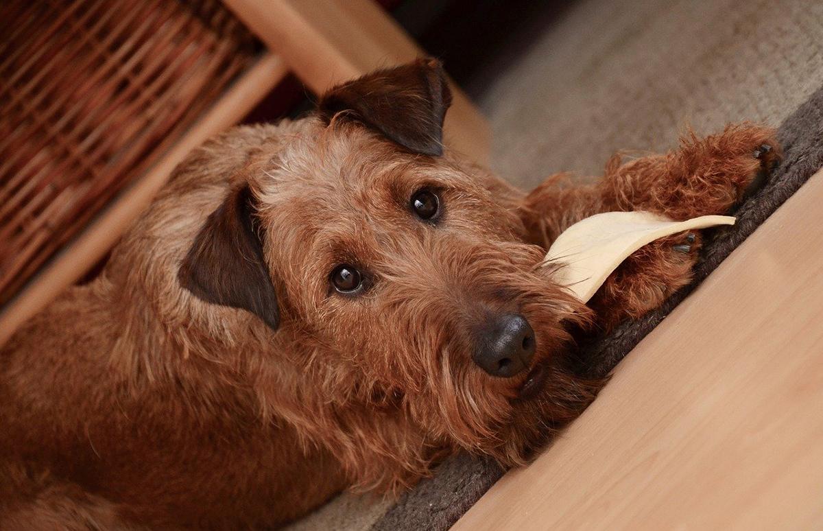 Para saber qué comen los perros, es necesario conocer su biología